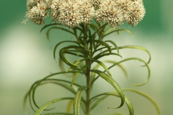 c-longifolia